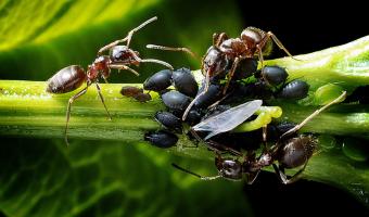 Mravenci využívají mšice jako otroky
