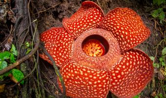 Kolik měří a váží největší květ na světě?