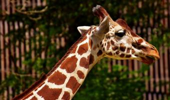 Proč mají žirafy nadměrně velké srdce těžké až 12 kg?