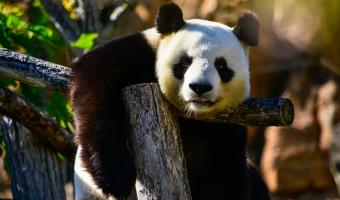 Čína pronajímá zahraničním ZOO pandy velké