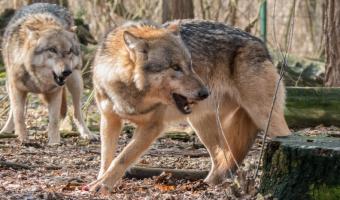 Proč nelze ochočit vlka jako psa?