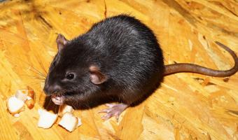 Krysa přežije bez vody déle než velbloud