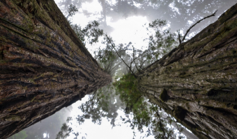 Nejvyšší stromy na světě dosahují výšky přes 100 metrů