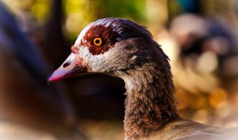 V Japonsku se na ochranu rýžových polí před hmyzem používají kachny
