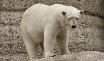 Lední medvěd má černou kůži