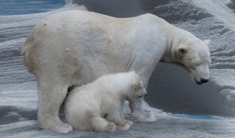 Lední medvěd roste neuvěřitelně rychle